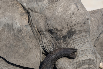 Close up and portrait of a huge African Elephant, with proboscis on the eye. Wildlife Safari in the Kruger National Park, the main travel destination in South Africa.