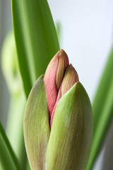 Red hippeastrum flower bud close up, beautiful garden plant and houseplant with winter bloom, gorgeous component of flower bouquets