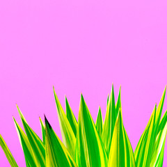 Plants on pink concept. Fashion green. Aloe