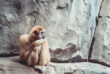 Nachdenklicher Affe auf Steinwand