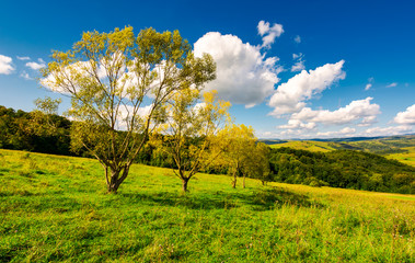 row trees a hillside in autumn. lovely countryside scenery in mountains under the blue sky with fluffy clouds