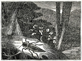 Headlight Elater (Pyrophorus noctilucus) (from Das Heller-Magazin, October 4, 1834)