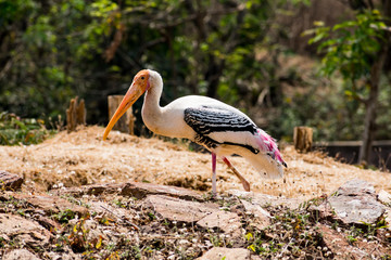 a white painted storks bird walking on zoo close view looking awesome.