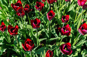 Beautiful spring , multi-colored tulips planted in the city park.