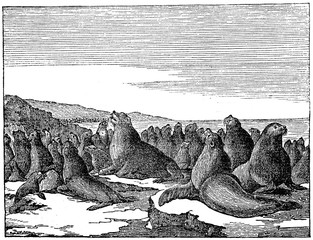 Steller sea lions (Eumetopias jubatus) (from Das Heller-Magazin, August 16, 1834)