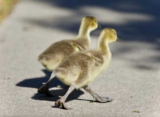 Isolated image of two cute chicks of Canada geese