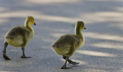 Photo of two cute chicks of Canada geese