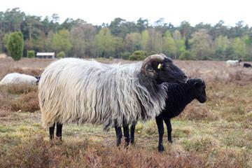Moorland sheep Heidschnucke and young lamb in Lüneburg Heath near Undeloh and Wilsede, Germany