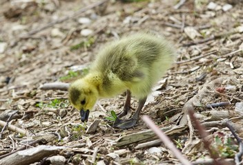 Beautiful isolated picture of a cute funny chick of Canada geese looking at something