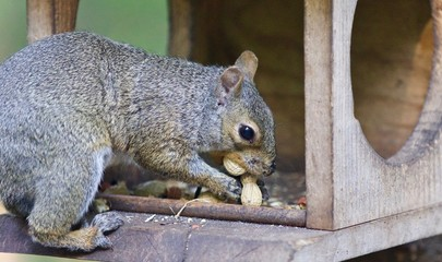 Picture with a funny squirrel eating nuts