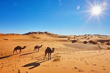 Camal caravan on trip through sand desert
