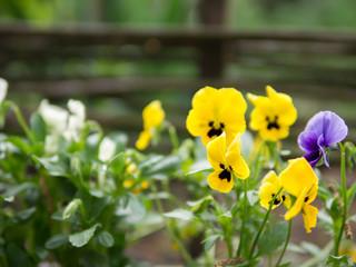Fotobehang Lieveheersbeestjes Pansies blooming closeup of yellow