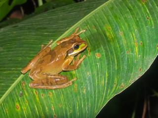 Smilisca phaeotha - Rana mascherata
