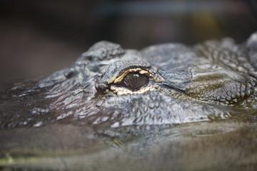 Crocodylus niloticus - Coccodrillo del Nilo