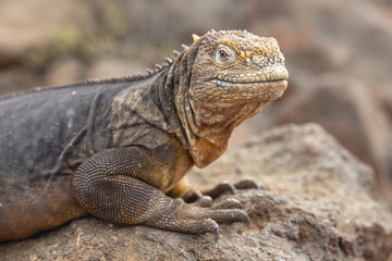 Galapagos Land Lguana (Conolophus subcristatus) in Galapagos Isl