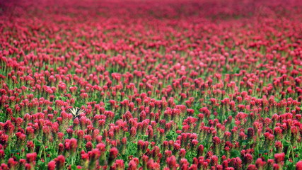 Red clover field flowers landscape with butterfly background