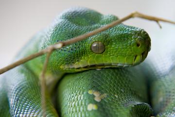 Morelia viridis - Pitone verde