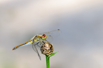 Dragonfly with red eyes sits on flower bud