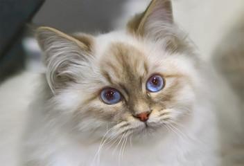 Neva Masquerade kitten of siberian breed.