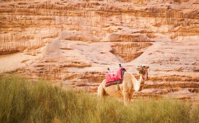 The camel in Wadi Rum desert, Jordan.