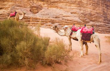 The camels in Wadi Rum desert, Jordan.