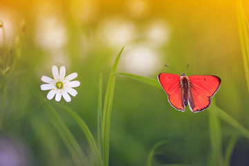 natural background with little orange butterfly sitting on green grass on a blossoming summer meadow on a Sunny bright day