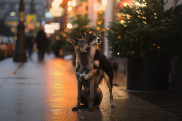 two dogs hug in the city, on the street. Obedient pets, outside