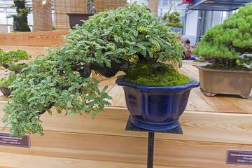 Bonsai tree  - Osteomeles subrotunda.