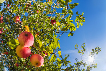 Upward view of an autumn apple tree against blue sunny sky