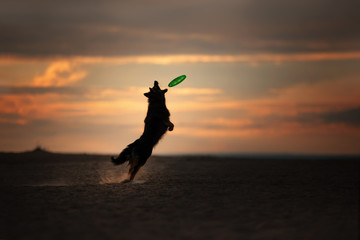 The dog at the sunset catches the disc. Sports with the pet in nature
