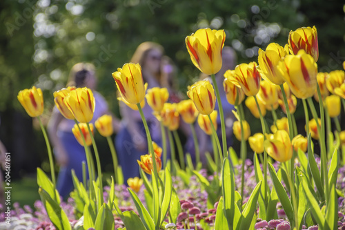 Red And Yellow Tulips On Flower Bed In Uk Parkblurred People In