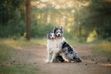 Two dogs hug. pet outdoors, Border Collie