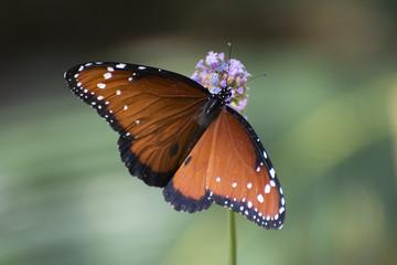 Butterfly 2018-14 / Butterfly on purple flower