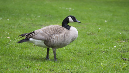 wild goose standing on green grass background