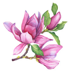 Branch of pink magnolia liliiflora (also called mulan magnolia) with flowers and leaves. Botanical watercolor hand drawn painting illustration, isolated on white background.