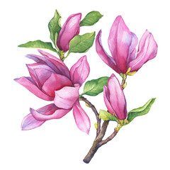 Branch of purple magnolia liliiflora (also called mulan magnolia) with flowers and leaves. Botanical watercolor hand drawn painting illustration, isolated on white background.