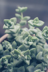 Trendy succulent plant close up or macro shot