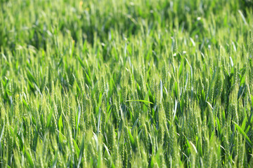 Growing wheat, outdoors