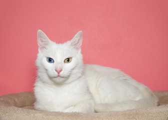 Portrait of a medium hair white cat with heterochromia, or odd eyed. One blue eye one yellow green. Laying in a light brown bed,  Pink background with copy space.