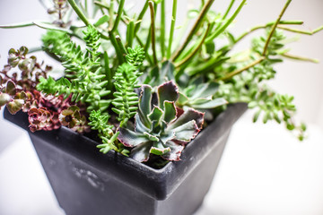 Tiny succulent plants in a pot or planter on a white background