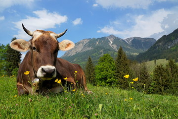 Kuh auf Alpe liegt im Gras, Bayern
