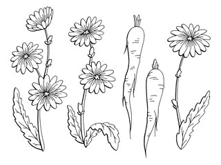 Chicory flower plant root graphic black white isolated sketch set illustration vector