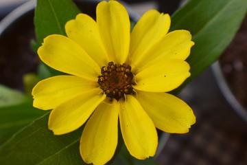 Macro shot of a beautiful blossomed Zinnia flower in a home garden in South Jordan, Utah.