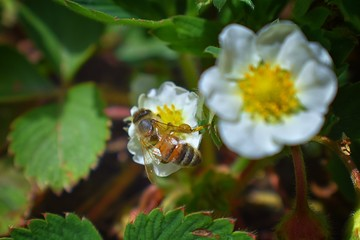 The honey bee pollinates the flowers of the strawberry which blossoms in large spring flower in Cottage Garden in South Jordan, Utah.