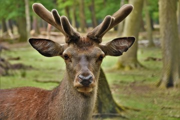 deer young with horns in the forest