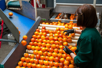 The manual selection of fruits: workers ckecking oranges to reject the seconde-rate ones