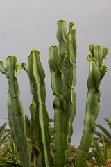 Immagine del modo vegetale: cactus