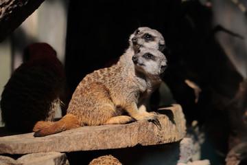 Wild African Meerkats