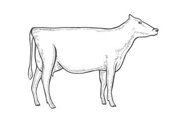 engrave vector cow