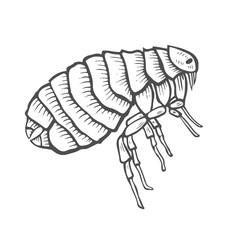 Flea insect parasite